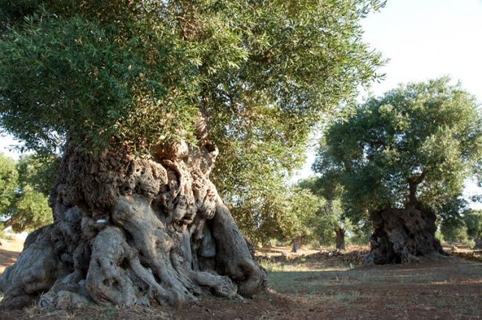Centuries old olive tree_1
