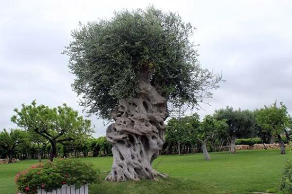 centuiries old olive tree